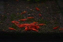 画像1: フャイヤーレッドチェリーシュリンプ(極火蝦)5匹