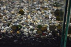 画像1: イシマキガイ 10匹